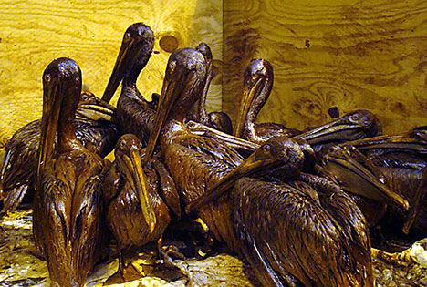 bp-oil-spill-oiled-birds-pelicans-photo