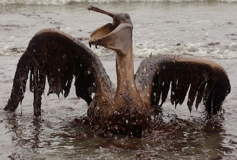 Gulf Oil Spill oiled pelican