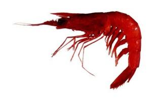 BP oil spill Royal Red Shrimp