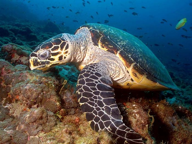 turtles hawksbill