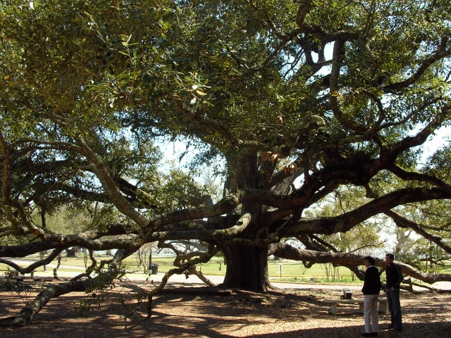bay saint louis oak