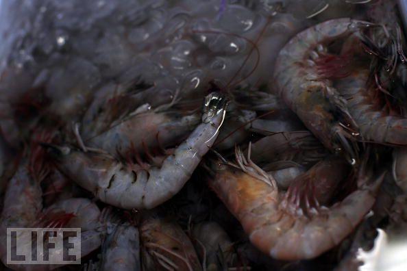 life shrimp gulf of mexico oil spill