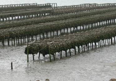Off Bottom Oyster Farming