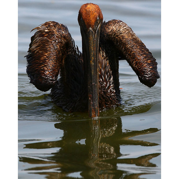 oiled brown pelican