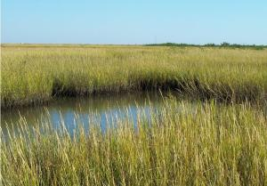 Spartina marsh grass