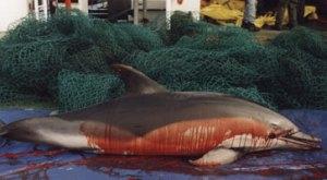 dead dolphin