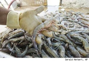 Gulf Seafood Not Safe to Eat