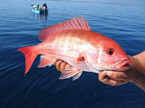 Red Snapper 1