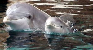 baby dolphin calves