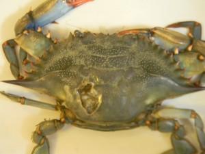 crab lesions
